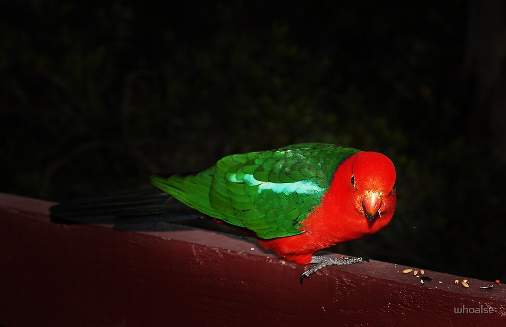 Colours of a King Parrot by whoalse