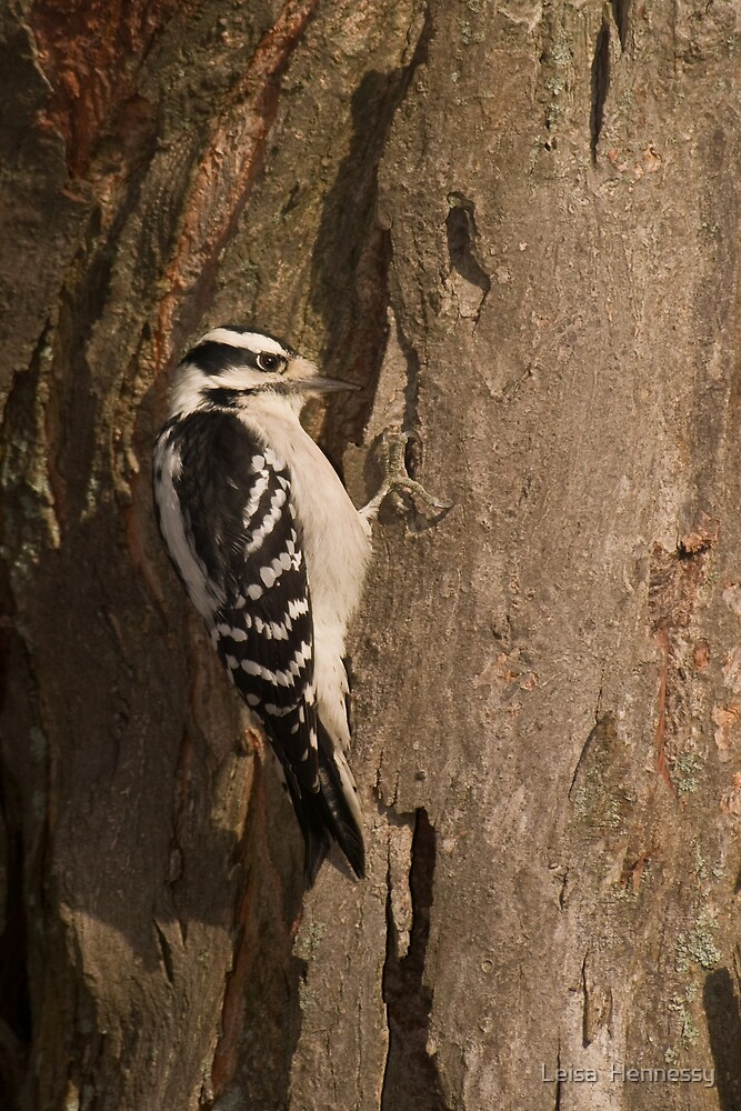 Downy Woodpecker II by Leisa  Hennessy