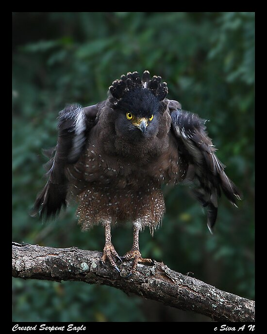 Crested Serpent Eagle by ansi247