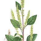 Smooth Pigweed - Amaranthus chlorostachis by Sue Abonyi