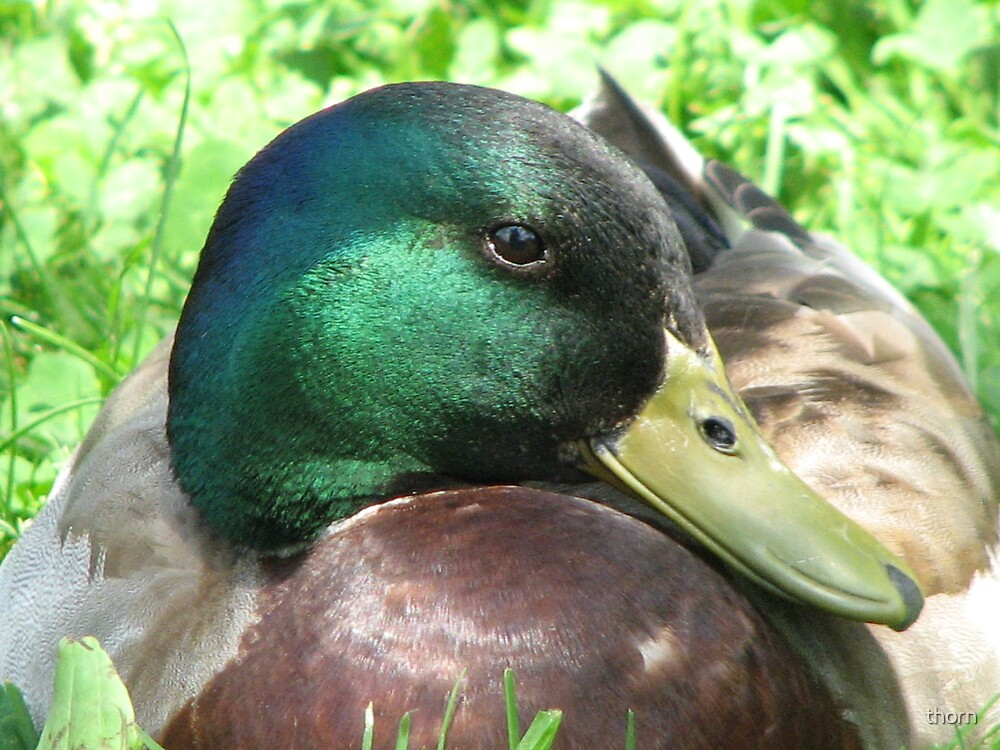 Duck by thorn