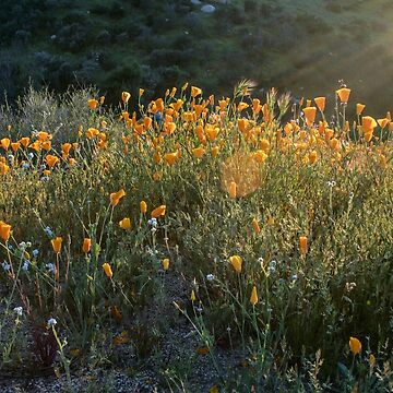Poppies in the California Sun by sgrace
