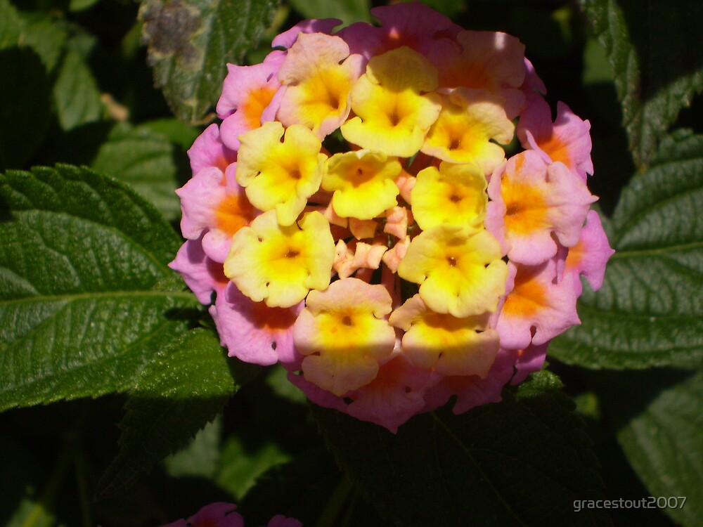 SHADOW OF LANTANA by gracestout2007