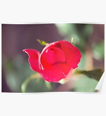 Romantic Red Rose Macro Poster