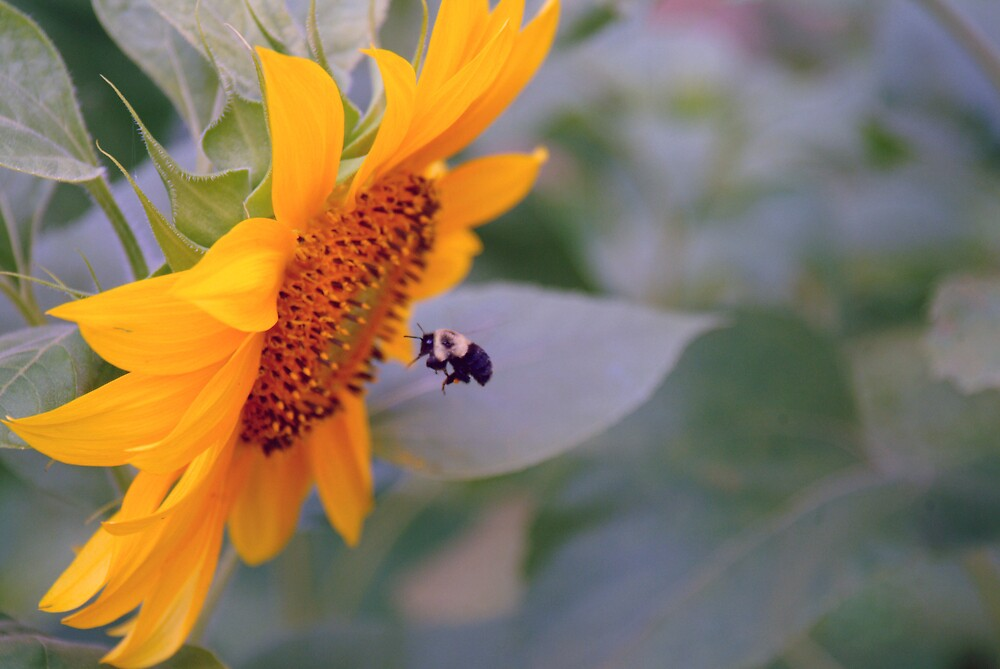 Bumble Bee hard at work by allenmay60