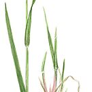 Yellow Foxtail - Setaria glauca by Sue Abonyi