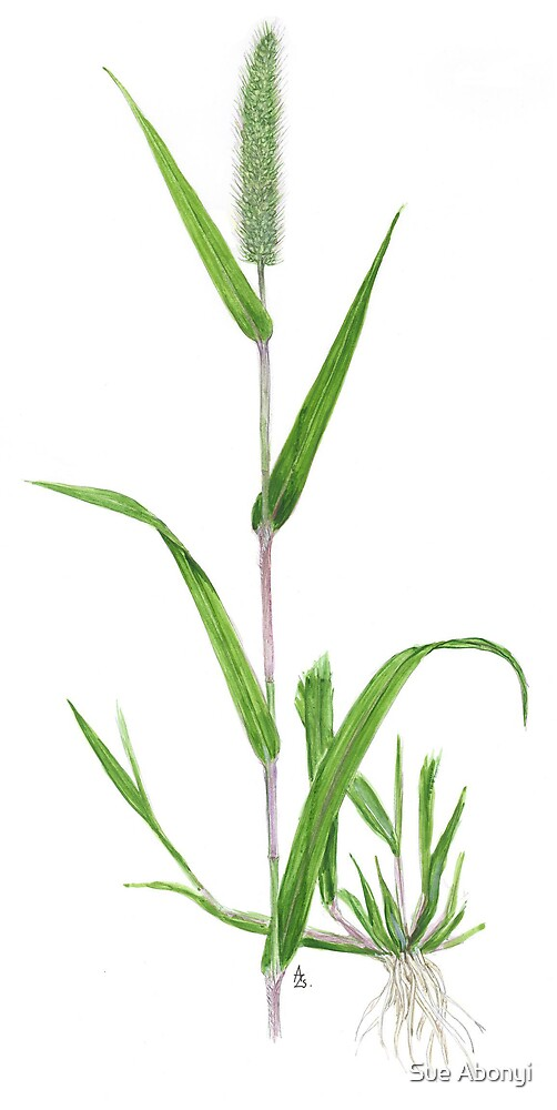 Green Bristlegrass - Setaria viridis by Sue Abonyi