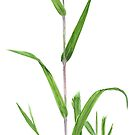 Green Bristlegrass - Setaria viridis by Sue Abonyi