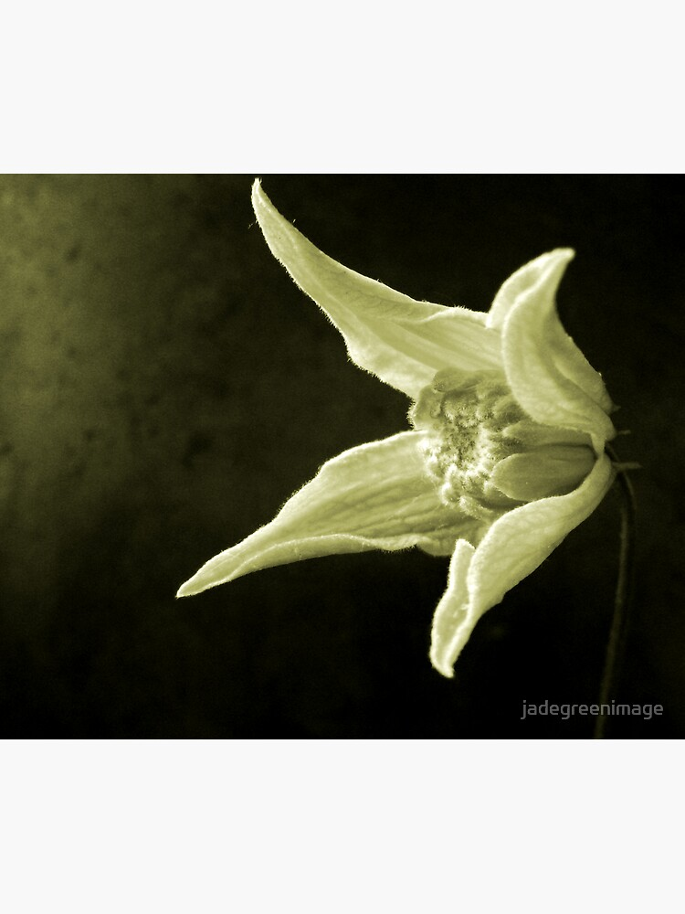 Clematis Study by jadegreenimage