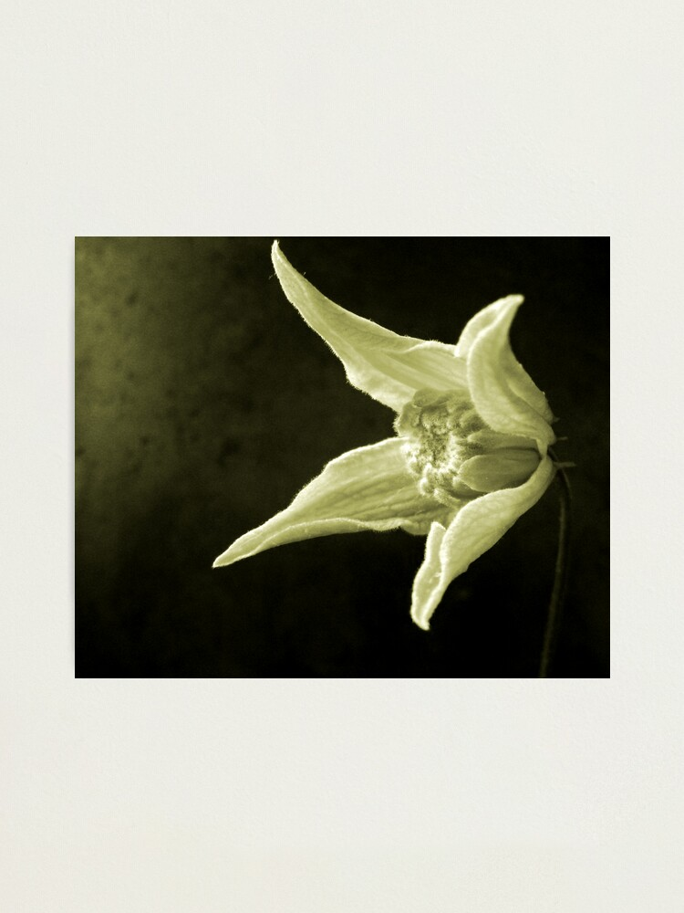 Alternate view of Clematis Study Photographic Print
