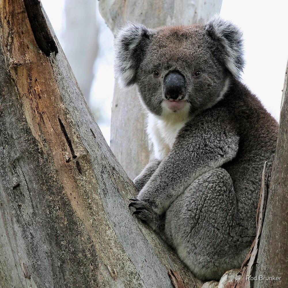 Echunga Koala by Rod Brunker