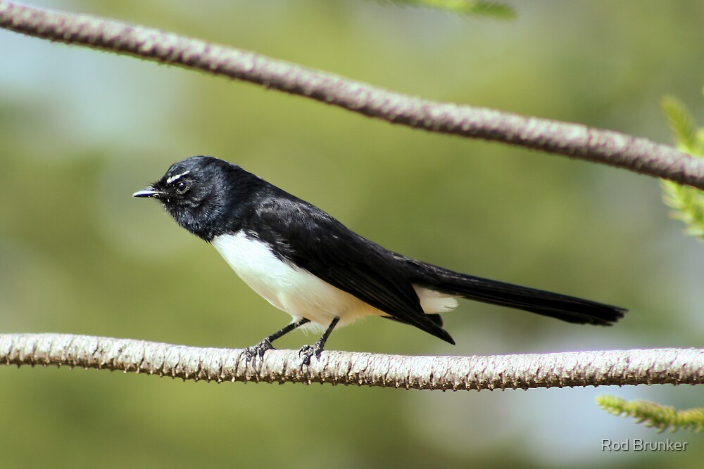 Willie Wagtail by Rod Brunker