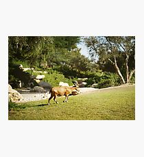 Goat walking at the meadow Photographic Print