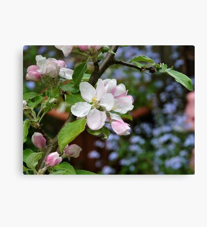 Apple blossom and forget-me-nots Canvas Print