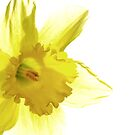 Jonquil Light by AngieDavies