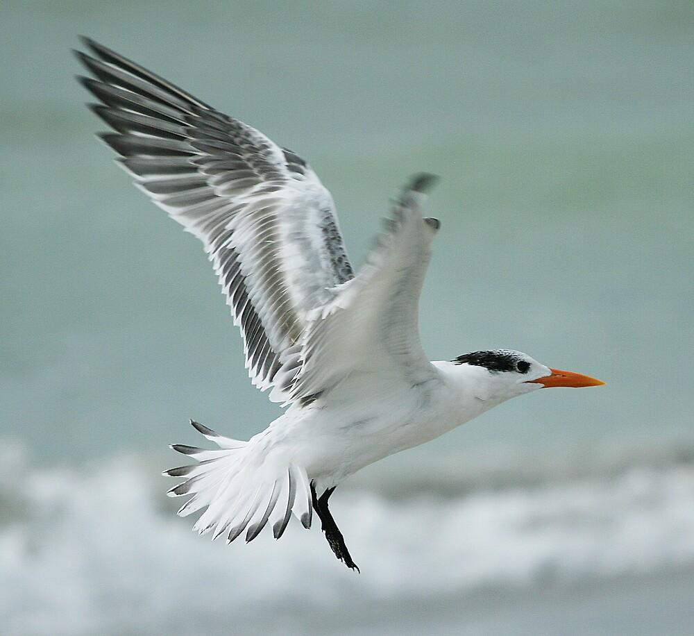 Royal Tern by Martyn Starkey