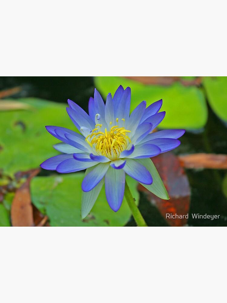 Purple Waterlily by RICHARDW