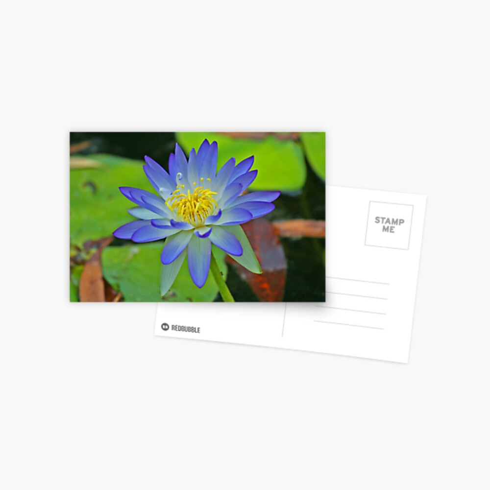 Purple Waterlily Postcard