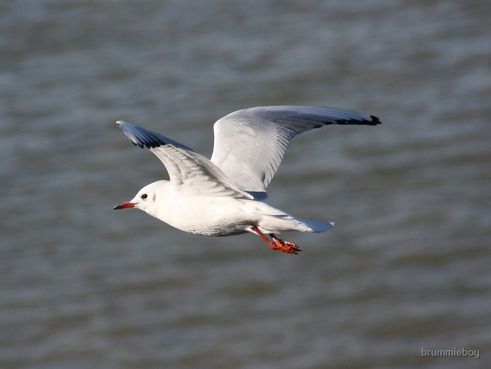 Gull in flight by brummieboy