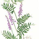 Tufted Vetch  - Vicia cracca by Sue Abonyi