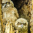 Baby Great Horned Owl Siblings by Gregory J Summers