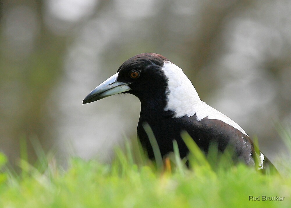 Magpie in Grass by Rod Brunker