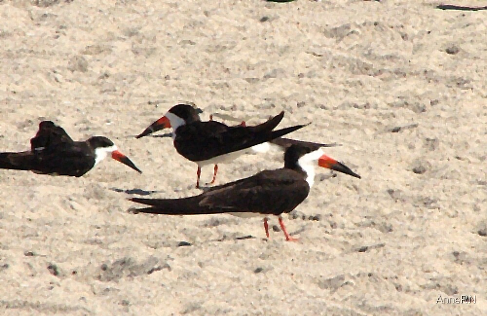 Black Skimmers by AnneRN