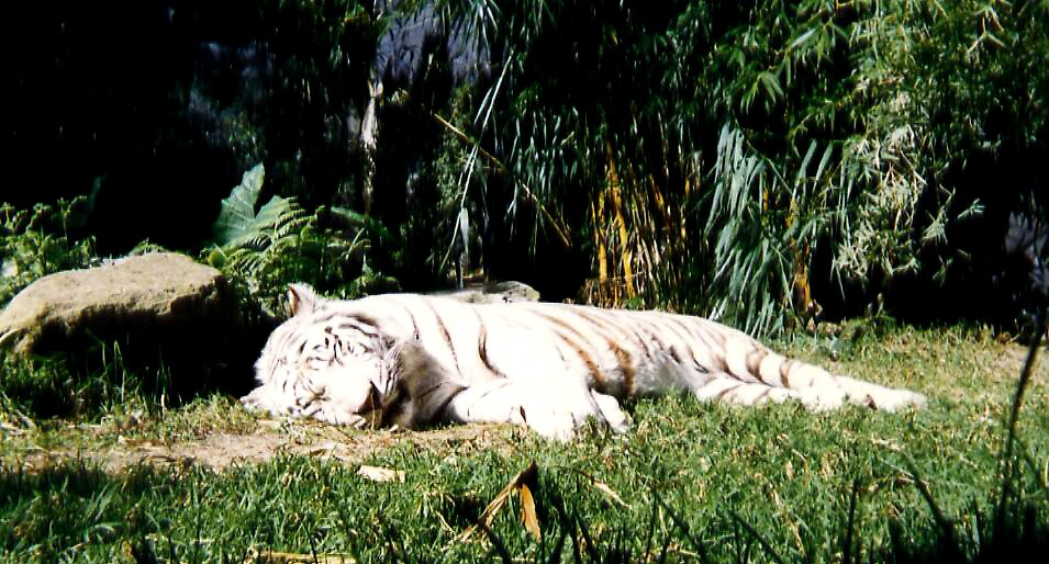 White Bengal Tiger by Rhapsody