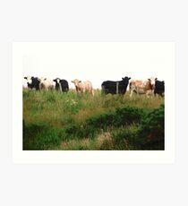 Curious Cows, Inch Island, Donegal, Ireland Art Print