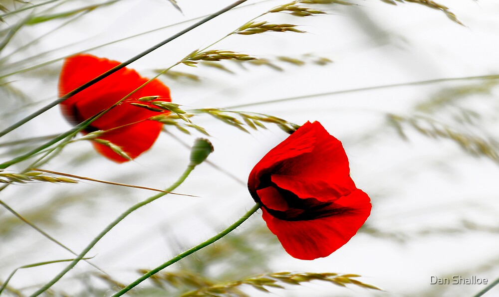 poppies in the wind by Dan Shalloe