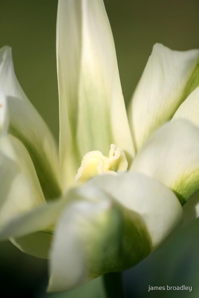 tulip by james broadley