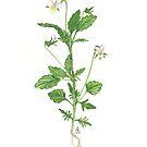 Heart's Ease - Viola arvensis by Sue Abonyi