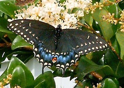 Black Swallowtail by artwoman3571