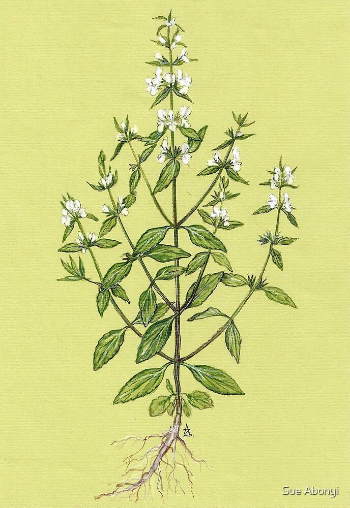 Annual Wundwort - Stachys annua by Sue Abonyi