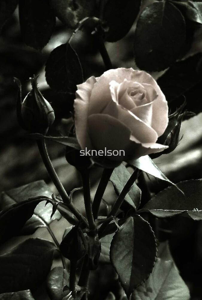 Moonlit Rose by sknelson