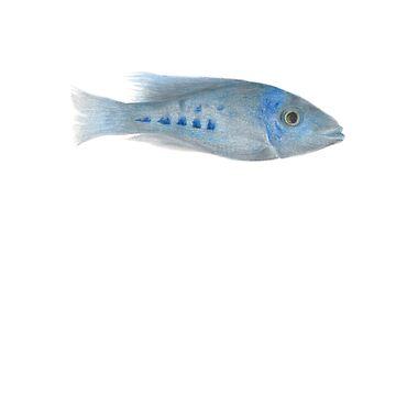 fish 08 cichlids malawi lake by dai-dai