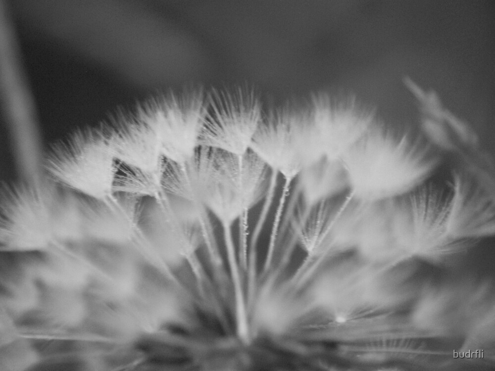 dandy black and white by budrfli