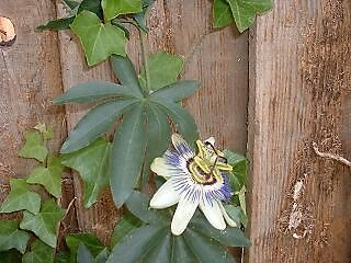 white passion flower by inkylady