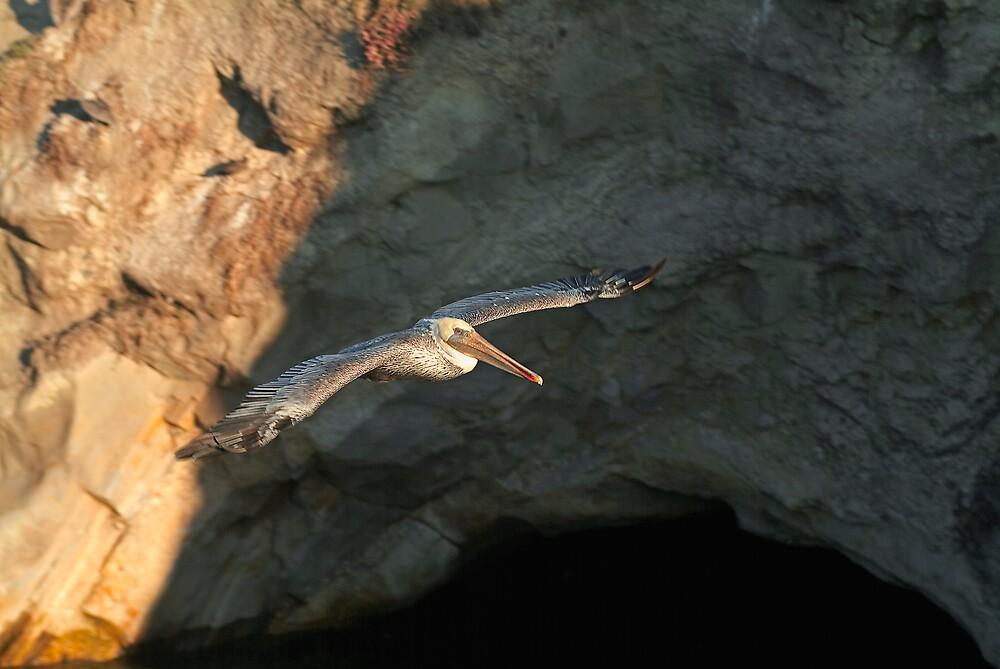 Brown pelican in flight by Eyal Nahmias