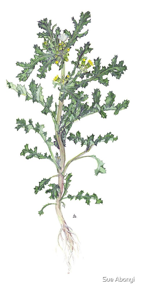 Groundsel - Senecio vulgaris by Sue Abonyi
