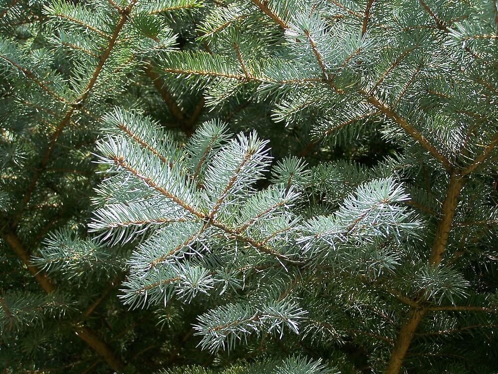 Spruce Needles 2 by Gene Cyr