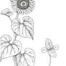Sunflower study by Sue Abonyi