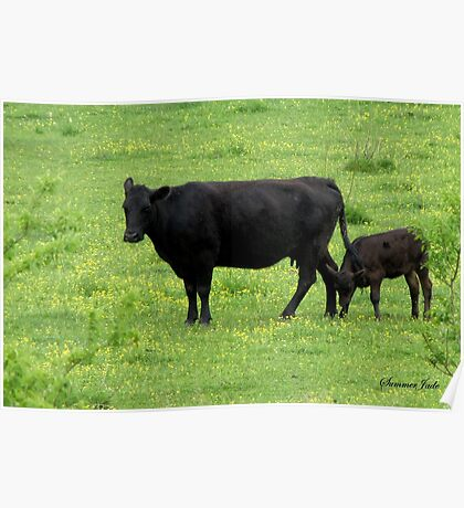 Cow and Calf in a Field of Buttercups  Poster