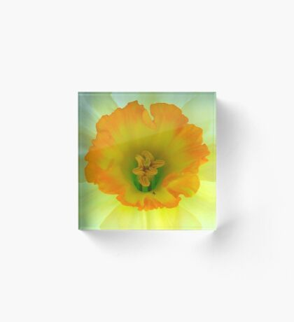 Daffodil close-up with visitor Acrylic Block