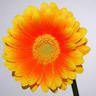 Yellow / Orange Gerbera print by David Rankin