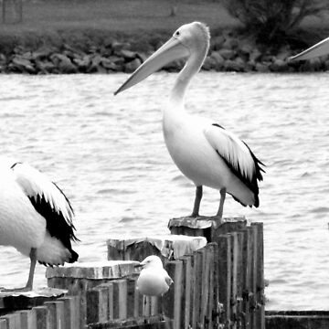 Pelicans at Goolwa by Martinbryce