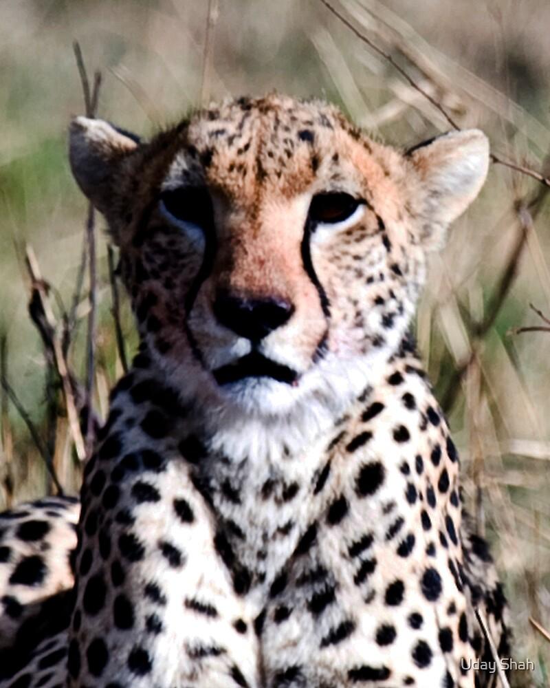 Cheeta by Uday Shah