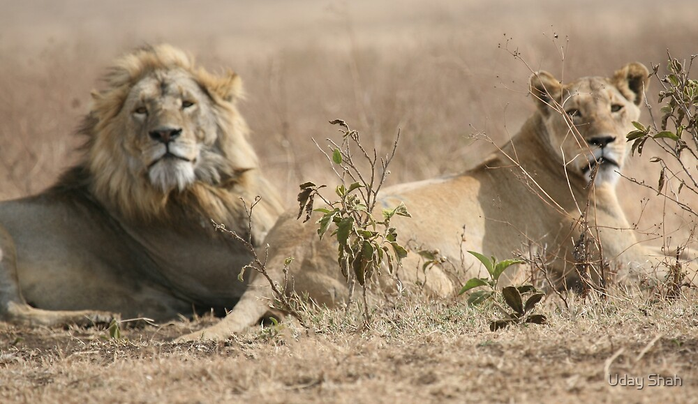 Lion by Uday Shah