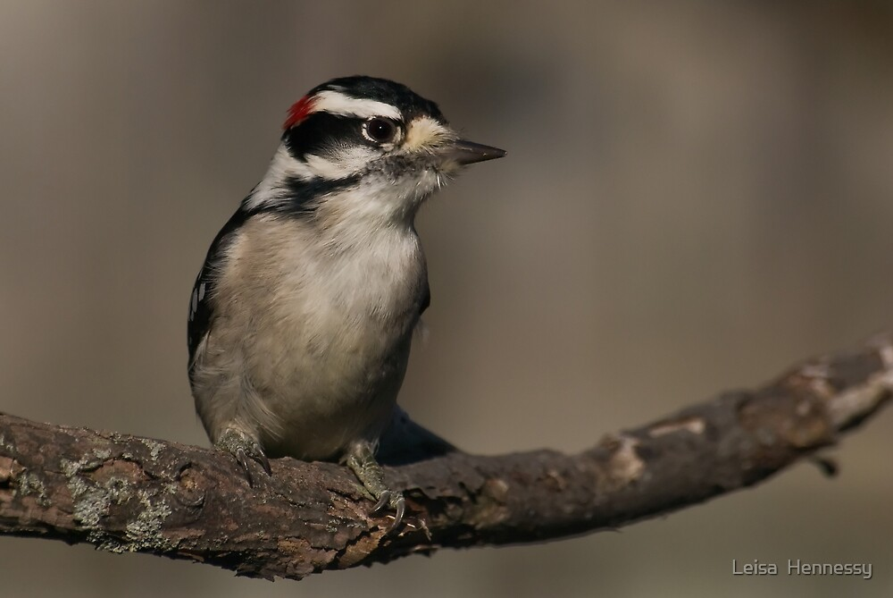 Downy Woodpecker III by Leisa  Hennessy