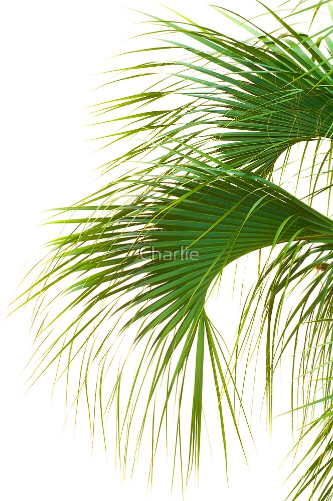 Palmetto Fronds by Charlie